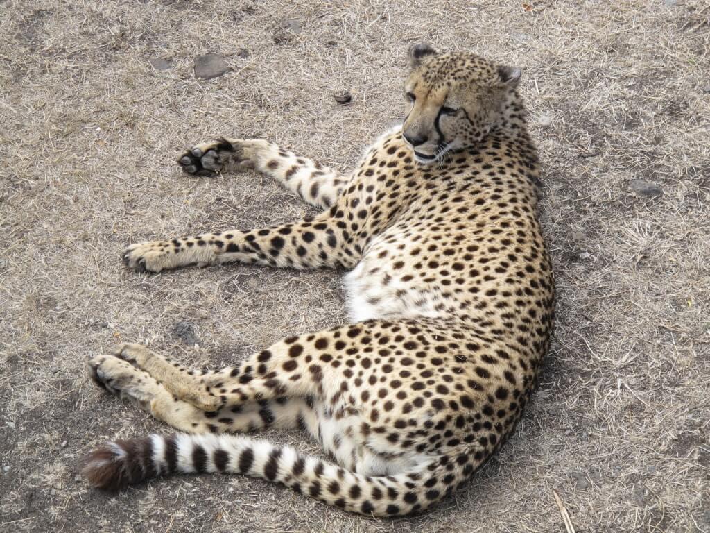 Chillin Cheetah