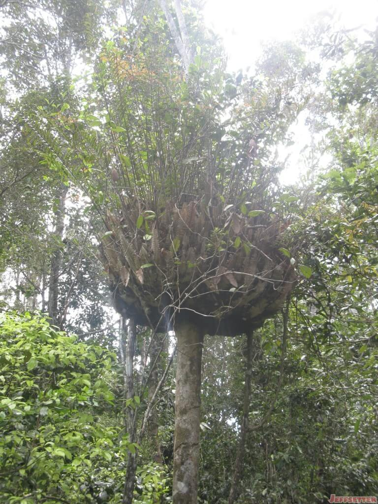 Birds nest or tree goiter