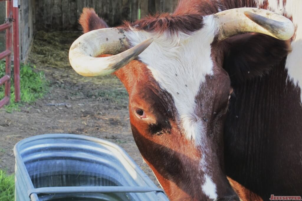 Close up of the Bull
