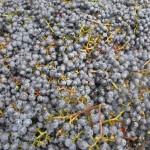 [Friday Photo] Grape Harvest and Crush in California Wine Country