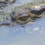 Eye of the Crocodile in Cairns, Australia [Photo of the Week]
