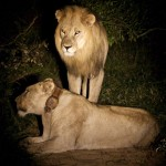 South Africa Safari Experience Part 2: How Often do Lions Mate?