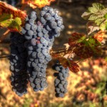 Grapes Ready for Harvest in Sonoma County