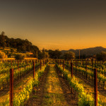 New Vines in Napa Valley Wine Country