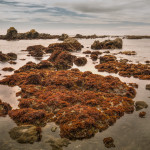 Harbor Seals and Red Kelp at MacKerricher State Park, Mendocino County California