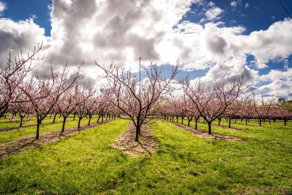 Cherries in Bloom New Zealand-1