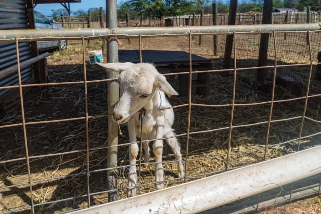 Surfing Goat Dairy-4