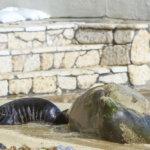 Endangered Hawaiian Monk Seal Born on Waikiki Beach