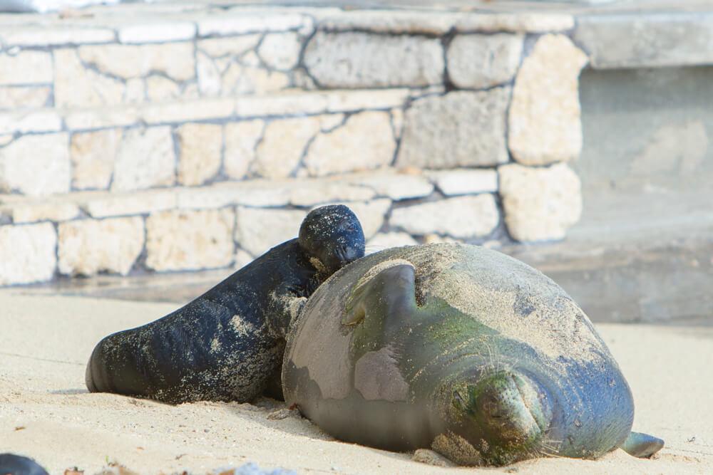 Hawaiian Monk Seal Born on Waikiki Beach