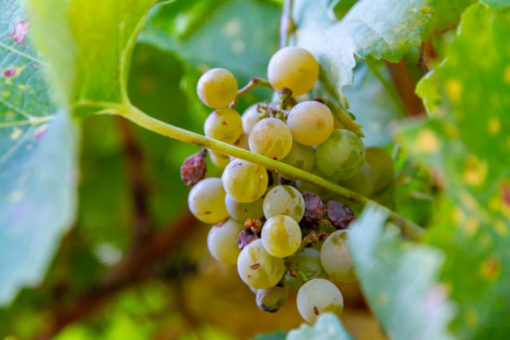 A Brief Visit to Beringer Vineyard