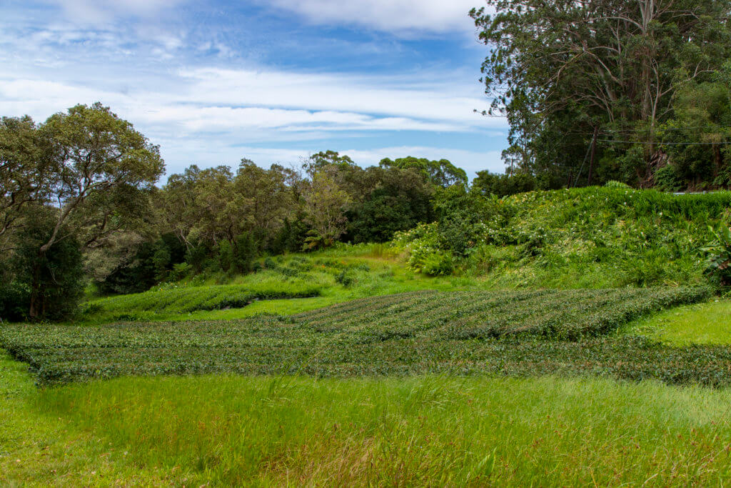 Tea Lovers Should Visit Hawaii Island