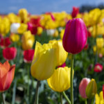 Wooden Shoe Tulip Festival – Woodburn, Oregon