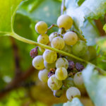 Some Winemakers May Not Have a 2020 Vintage