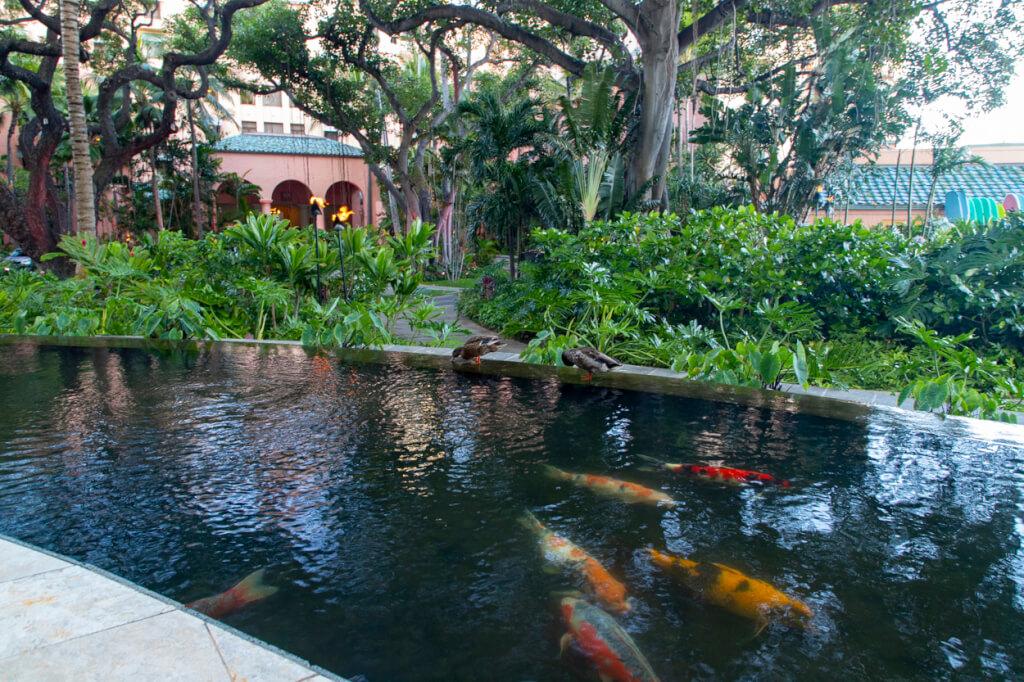 Sheraton Waikiki koi pond