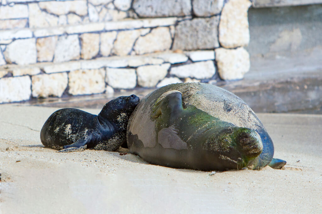 Keep Your Distance From Hawaiian Monk Seals